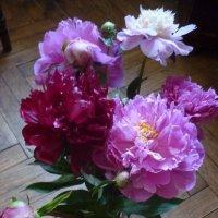 Мои любимые пионы :: Татьяна Юрасова