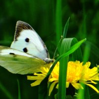 Бабочка капустница :: Зося Каминская