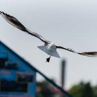 Полёт чайки. :: Виктор Евстратов