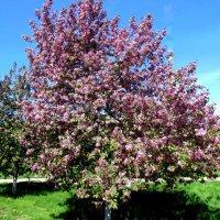 Яблони в цвету . :: Мила Бовкун