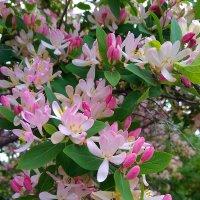 дерево с розовыми цветами ... :: Татьяна Котельникова