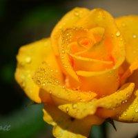 Роза-Краса! :: Тамара Бедай