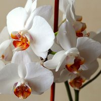 Орхидеи белые. :: Иван