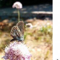 Утренние бабочки крымских гор... Morning butterflies of the Crimean mountains... :: Сергей Леонтьев