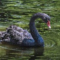 чёрный лебедь :: Игорь