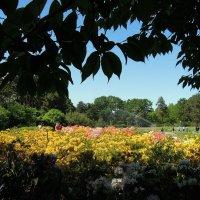 Рододендровое разноцветье в ботсаду :: Тамара Бедай