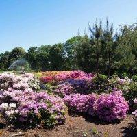 Рододендроны цветут :: Тамара Бедай