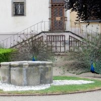 Красавцы павлины в Вояновых садах :: Елена Гуляева (mashagulena)