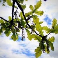 Дуб цветёт в июне . :: Мила Бовкун
