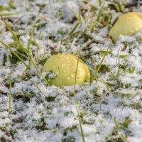 Яблоки на снегу :: luchnik