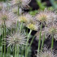 Сон-трава после цветения :: Юрий