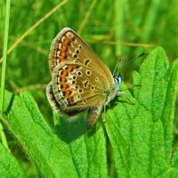 *Голубянка аргус - Plebeius argus. Самка. :: vodonos241