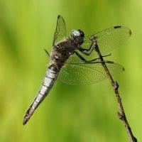 Самец стрекозы плоской...(длина брюшка 22-28мм ,крыла 33-37мм) :: Галина Кучерина