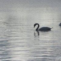 Лебеди :: Лидия Суюрова