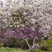 Орхидейное дерево :: Vanda Kremer