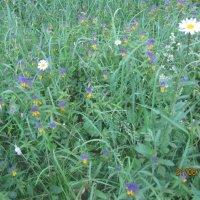 Лето, трава, ромашки :: Smit Maikl