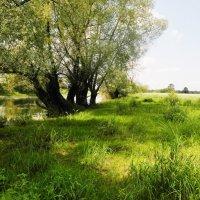 старое дерево :: Владимир
