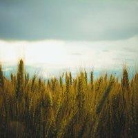 поле пшеницы :: Людмила Алейникова
