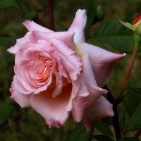 Роза в расцвете. :: Nata