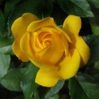Солнечная роза. :: Nata