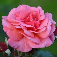 Розовая роза :: НАТАЛИ natali-t8