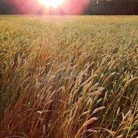 Колосится золотая нива  ... напоённая Солнцем! :: Елена (Elena Fly) Хайдукова