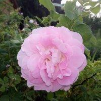 Розовые розы... :: BoxerMak Mak