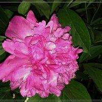 Пышность цветения :: °•●Елена●•° ♀