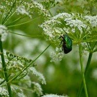 Жук и цветок. :: Михаил Столяров