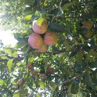 Наггар. Яблочный сад :: Evgeni Pa