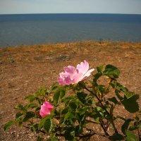 На высоком берегу, у моря, розы нежные по-прежнему стоят. :: Михаил Лесин