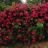 Вьющиеся розы :: Tamara *