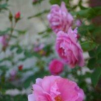 розы. John Davis & Louise Odier :: lenrouz