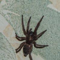 Мааахонький паучок при увеличении почти тарантул! :: Алена Малыгина