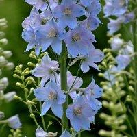 Цветы и цвета радуги. Синий. :: Михаил Столяров