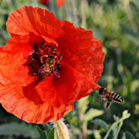 Трудолюбивые пчелы :: Валентина