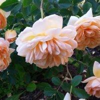 Июнь, розы... :: Вера (makivera)
