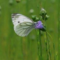 Бабочка капустница :: Наталья Третьяк