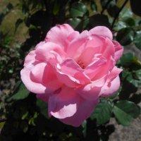 Монастырская роза :: Tarka