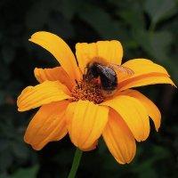 В золоте пыльцы :: Тамара Бедай