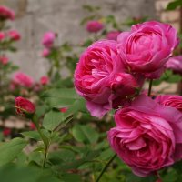 роза Louise Odier :: lenrouz