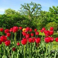 Красные тюльпаны. :: Лия ☼