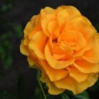 """""""Эти желтые розы.."""" ) :: Любовь С."""