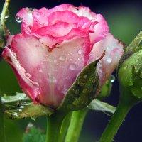 продолжение цветочной темы :: Юрий Словецкий