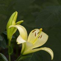 Жёлтая лилия :: Евгений