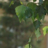 Молодое берёзовое лето :: Syntaxist (Светлана)