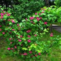 Садовый боярышник в парке. :: vodonos241
