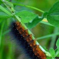 Гусеница бабочки медведицы :: Татьяна Лютаева