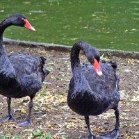Черные лебеди :: Татьяна Ларионова