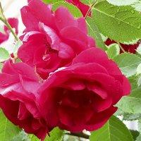 Штольц роза :: Лидия Суюрова